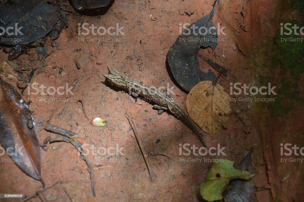 Un brookesia stock photo