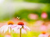 Un échinacée, marguerite rose, abeille
