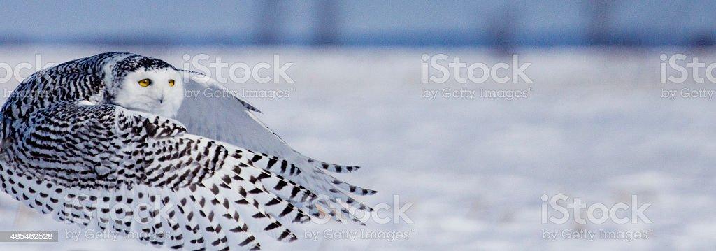 Un harfang des neiges en vol stock photo
