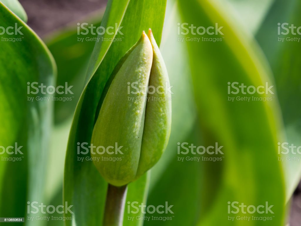 Unblown largest tulip bud In the spring stock photo
