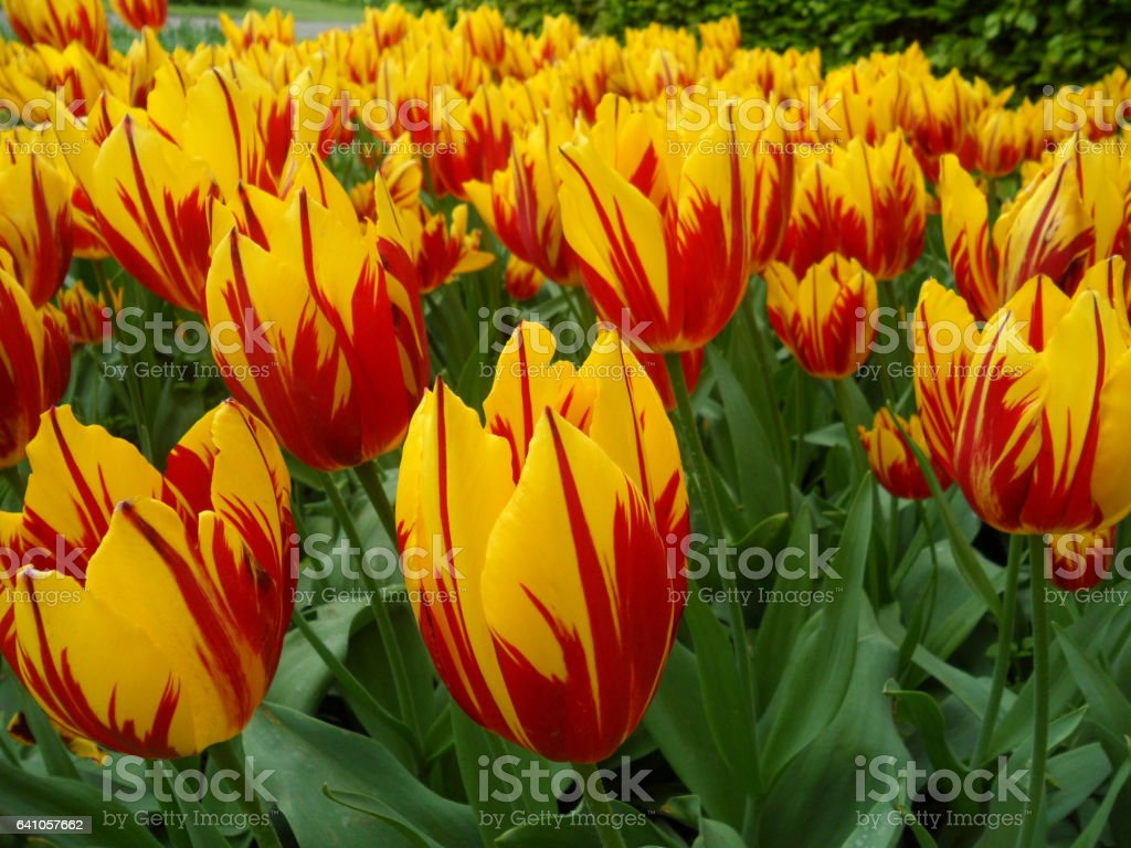 Uncountable vibrant yellow and red two-tone blooming Tulip flowers stock photo
