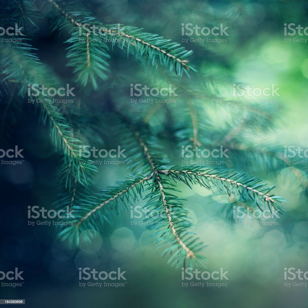 Undecorated Christmas tree branches close up royalty-free stock photo