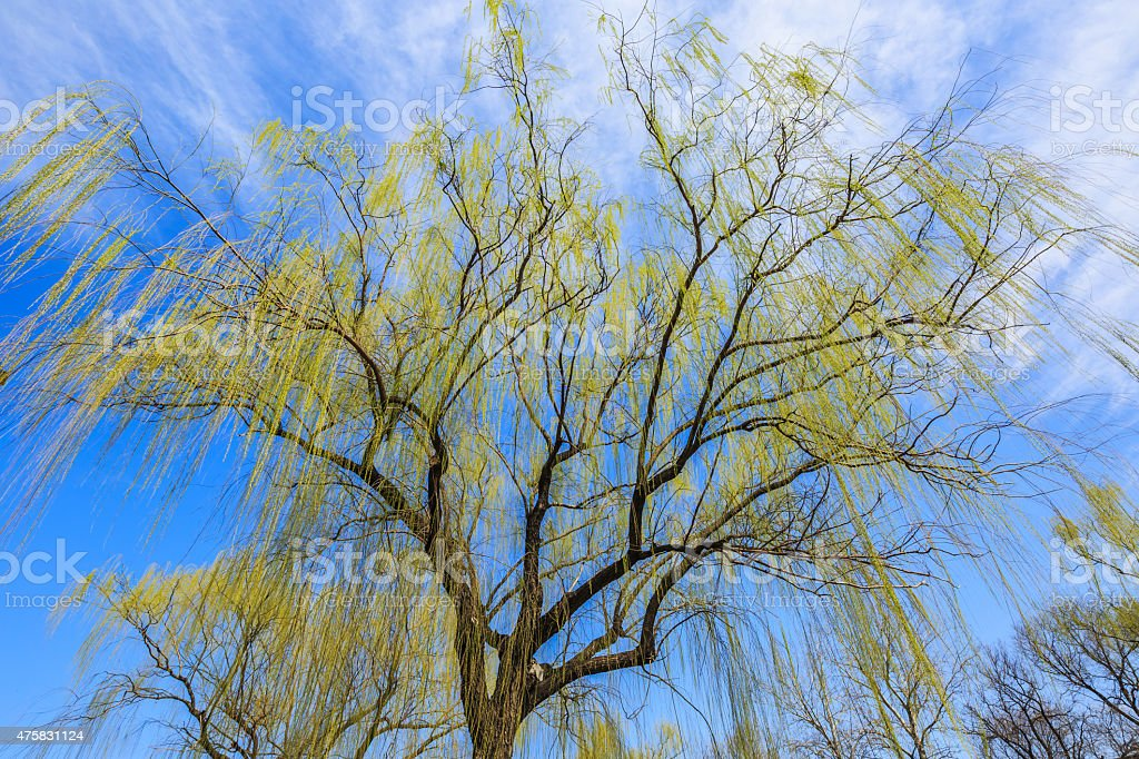 under a Weeping Willow tree stock photo
