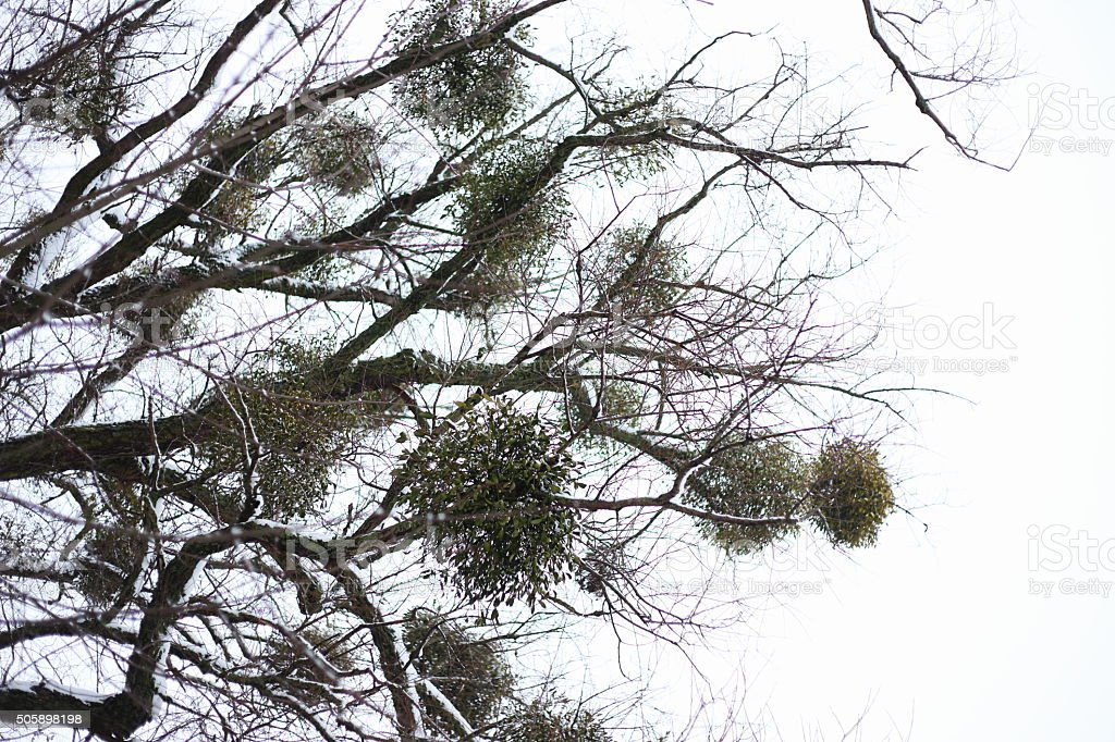 under mistletoe winter tree royalty-free stock photo