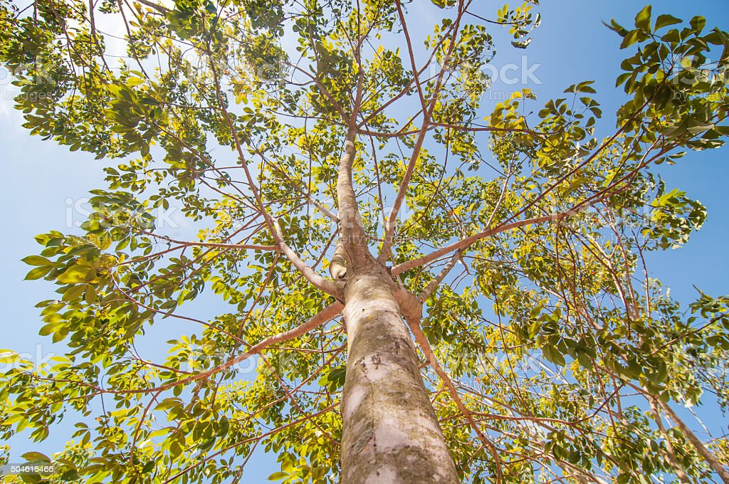 Under rubber Plantation stock photo
