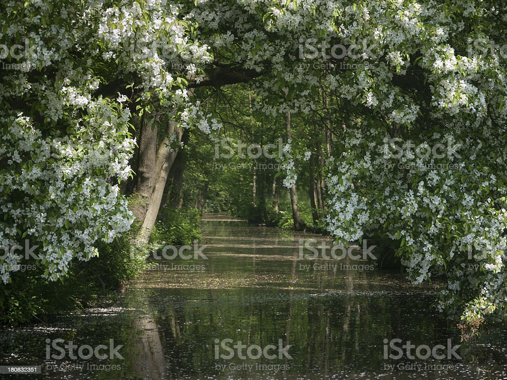 Under the big Hawthorn tree royalty-free stock photo