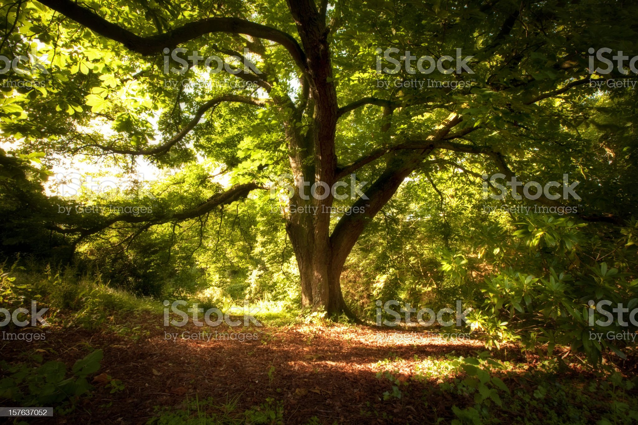 Under the Chestnut Tree royalty-free stock photo
