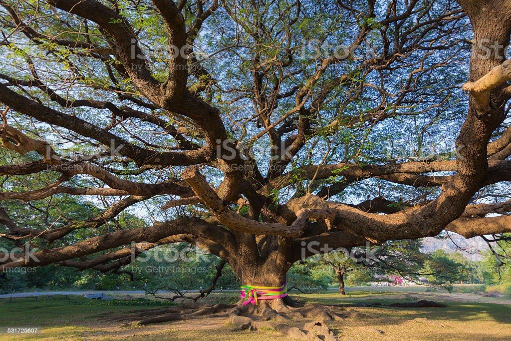 Under the Giant tree stock photo