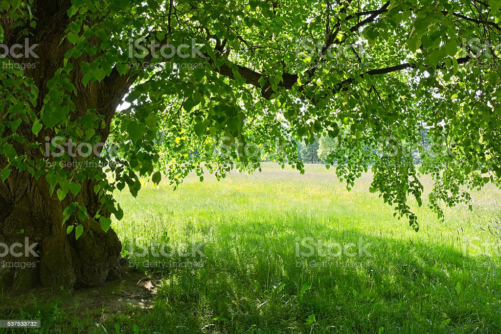 Under the green linden on a background of colorful meadows. stock photo