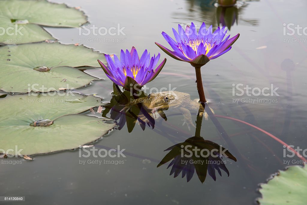 Under the lotus pond frog stock photo