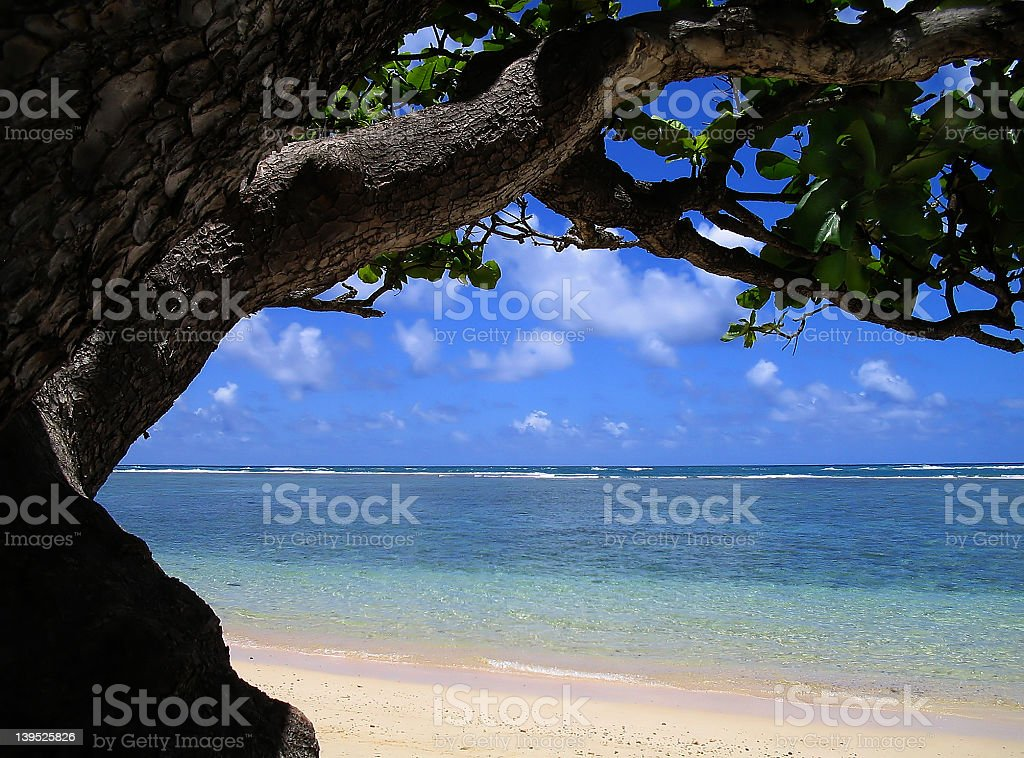 Under the Ol' Mac Nut Tree royalty-free stock photo