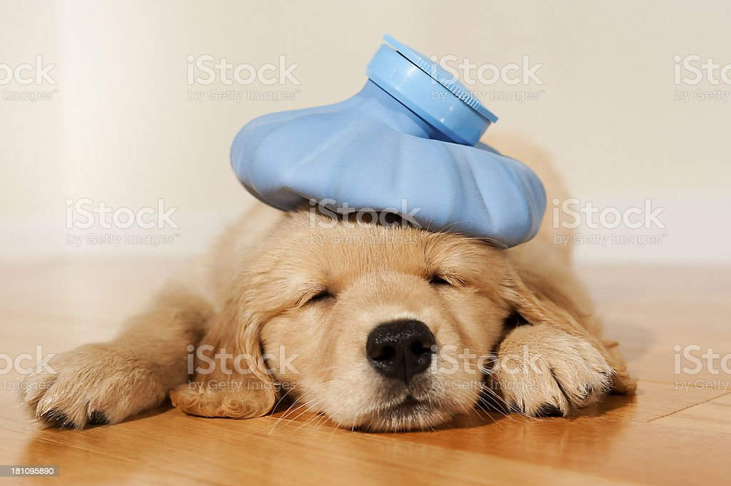Under the weather Golden Retriever puppy stock photo