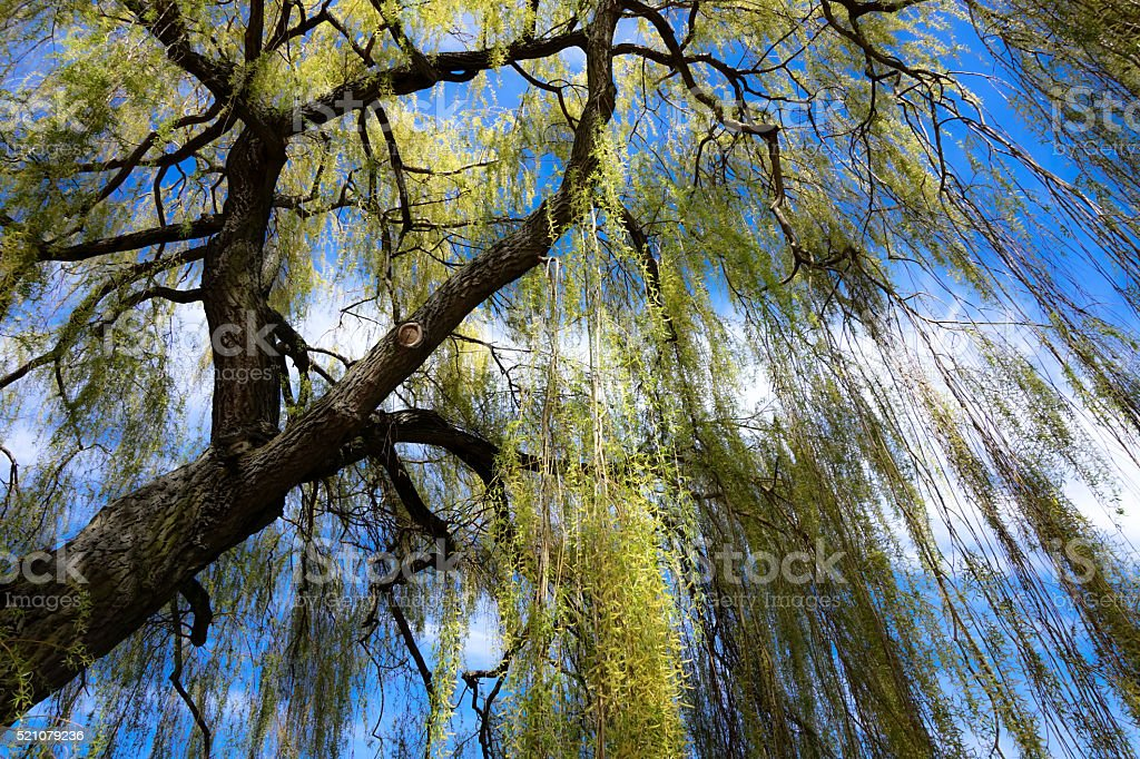 under the weeping willow stock photo