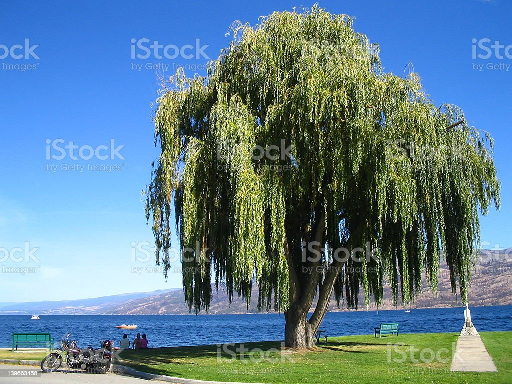 Under the weeping willow tree stock photo