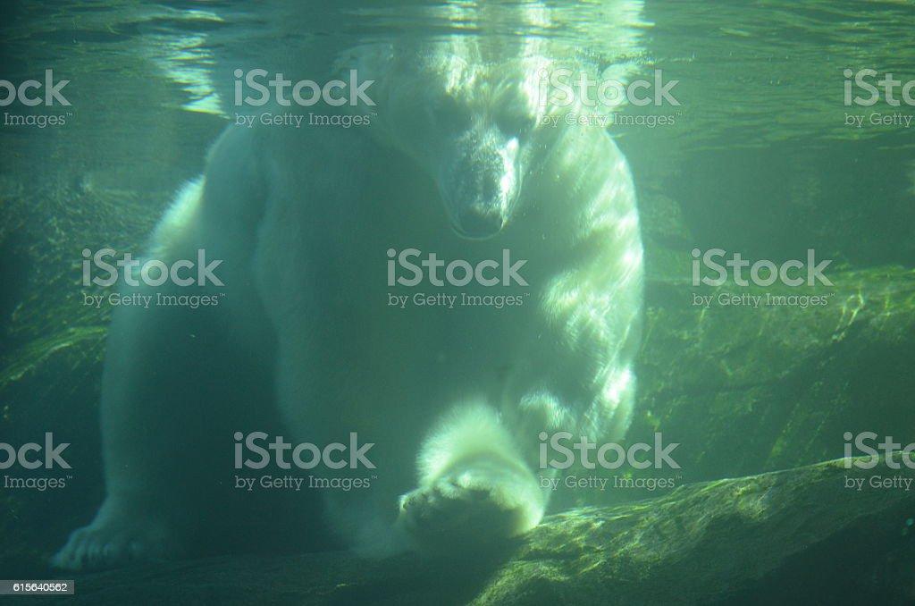 Under water bear