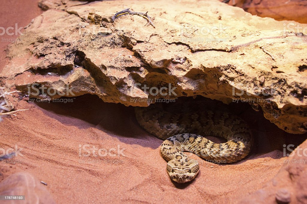 Undercover Rattlesnake royalty-free stock photo