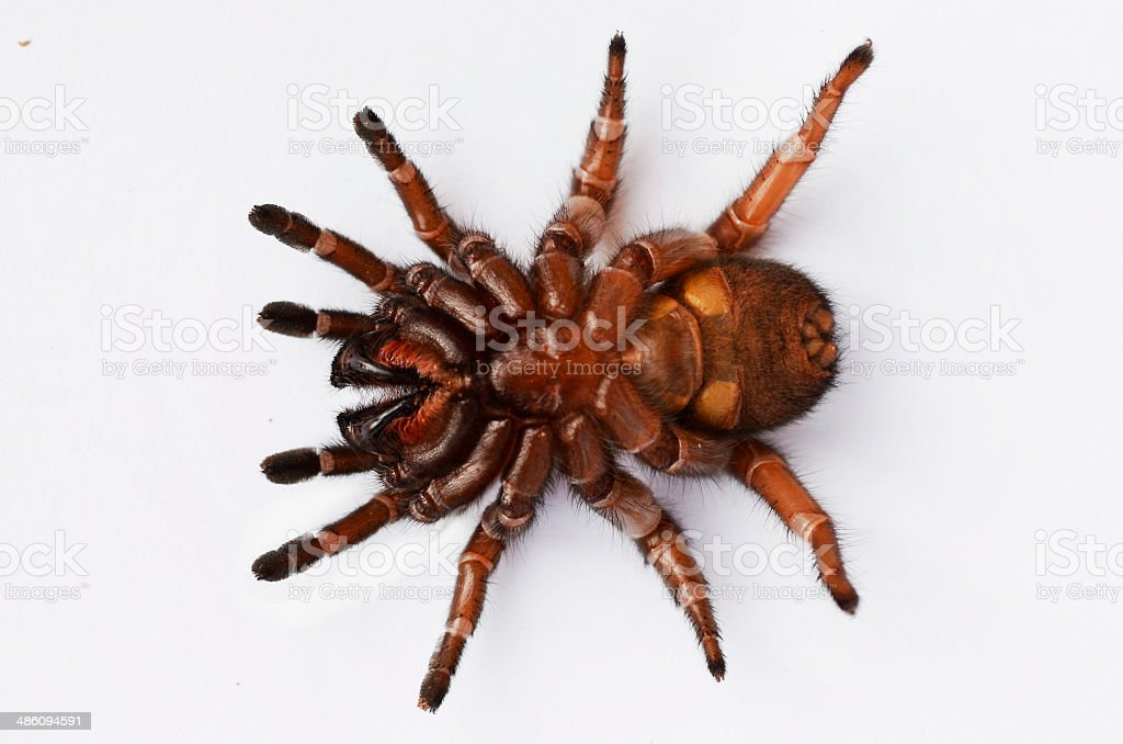 Underneath a spurred trapdoor spider royalty-free stock photo