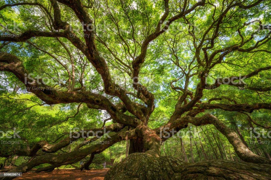 Underneath The Angel Oak Tree stock photo
