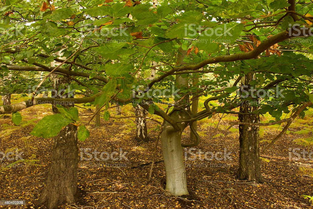Underneath the branches of a beech tree in autumn, Suffolk stock photo