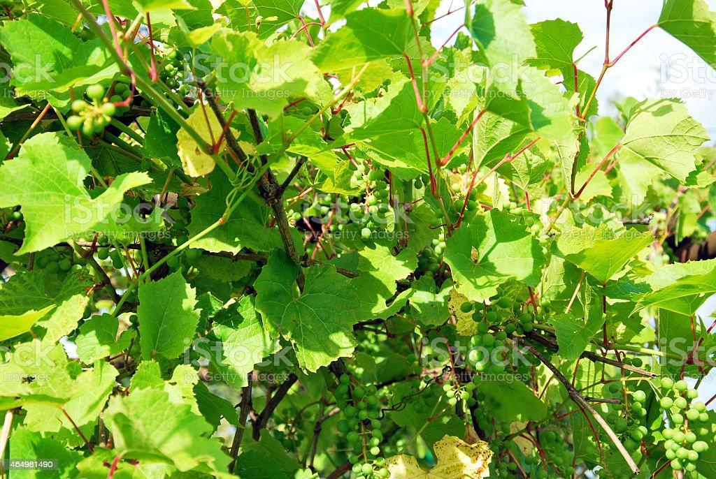 underripe grapes stock photo