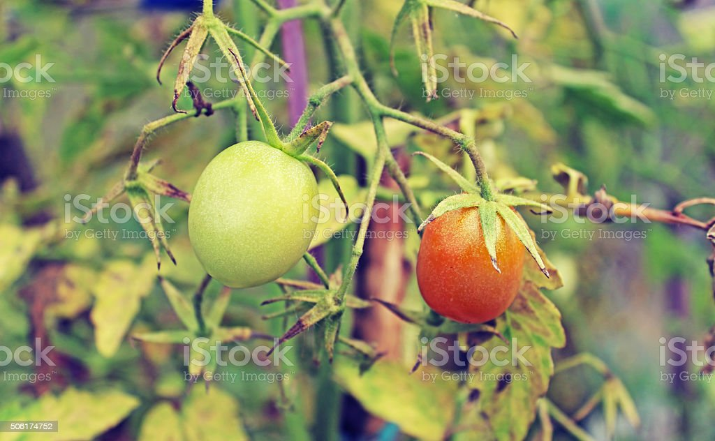 Underripe red tomato in the greenhouse in the summer stock photo