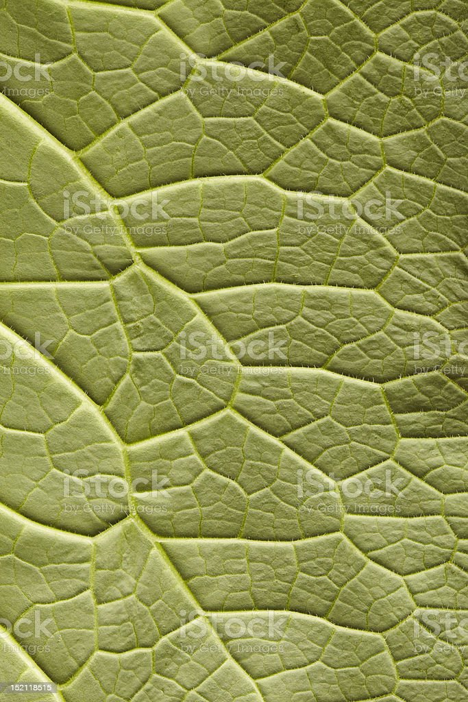 Underside of comfrey leaf in close-up royalty-free stock photo