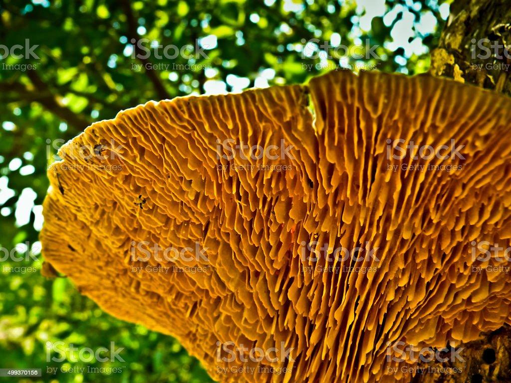 Underside of daedalea quercina bracket fungi, Bracket fungi stock photo