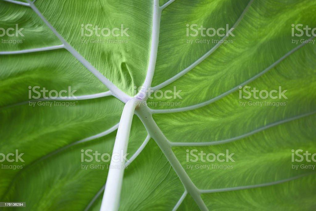 Underside of Elephant Ear Leaf royalty-free stock photo