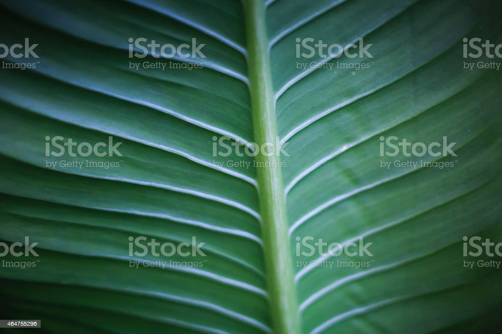 Underside of green banana leaf background stock photo