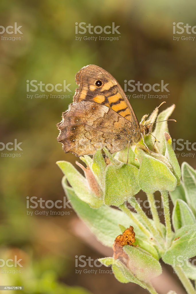 Underside of Speckled Wood butterfly on Phlomis royalty-free stock photo