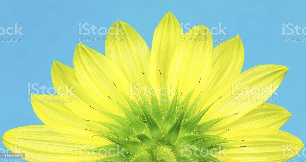 Underside of yellow sunflower, helianthus royalty-free stock photo