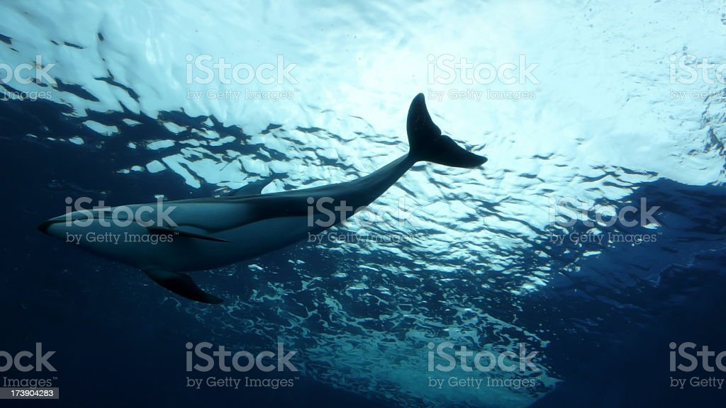 Underside view of a large whale swimming in the ocean stock photo