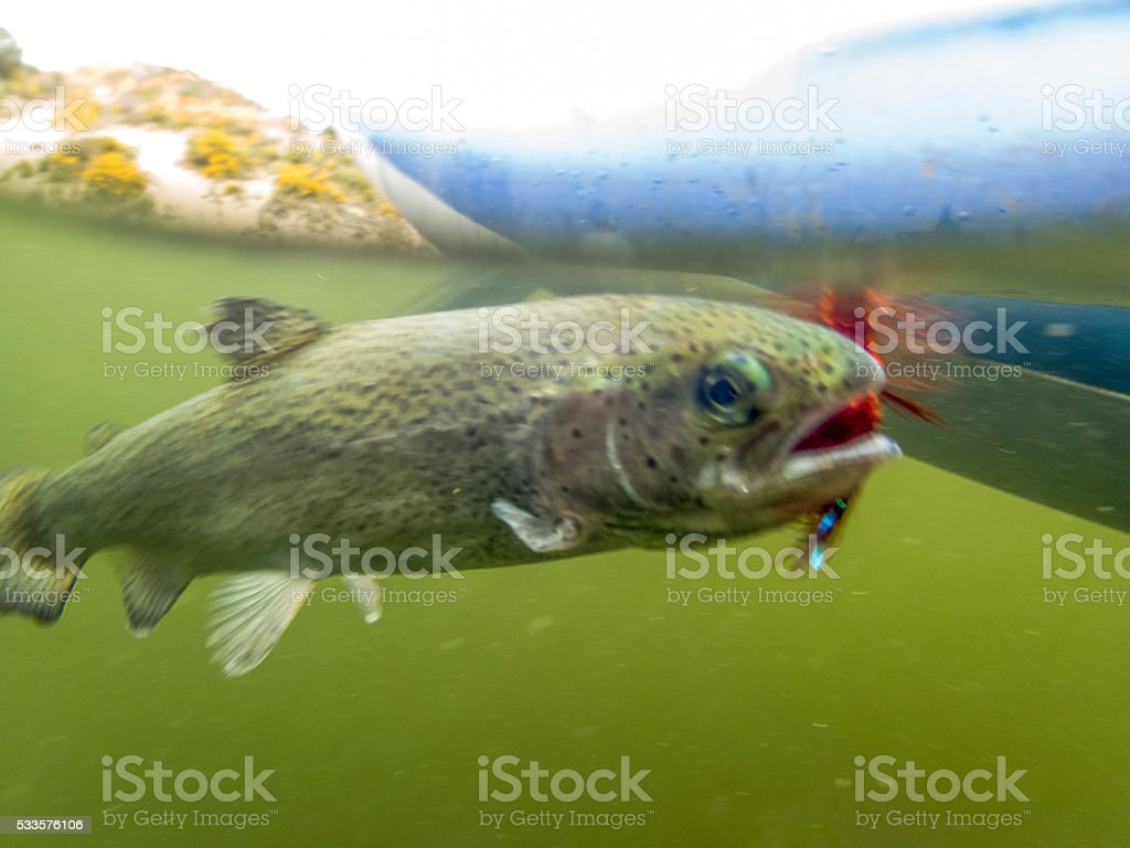 Underwater Above Water Hooked Rainbow Trout Oncorhynchus mykiss with Fly stock photo