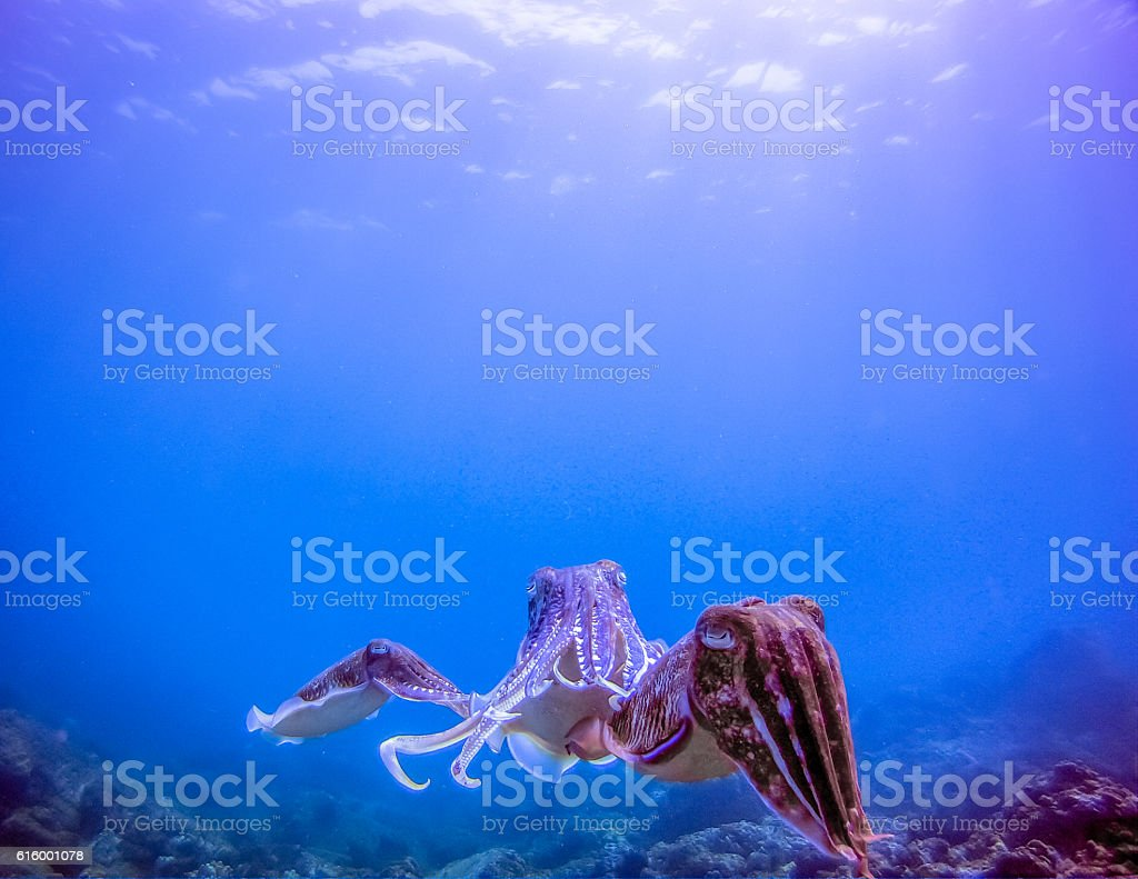 Three Wild Pharaoh Cuttlefish are in a mating ritual. A classic...
