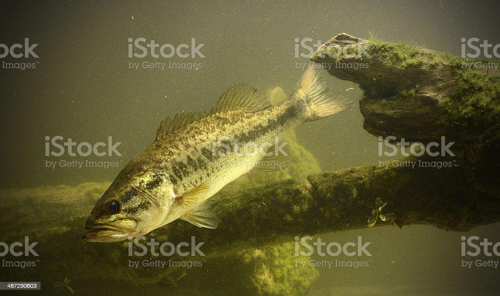 underwater bass fish royalty-free stock photo