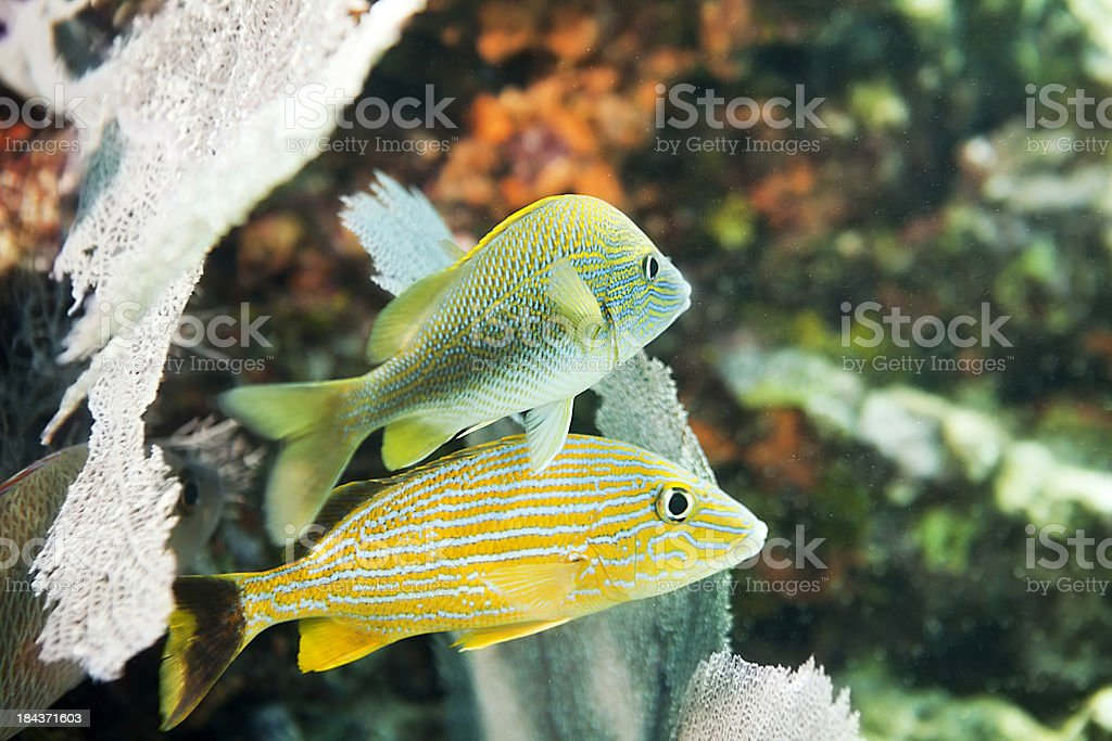 Underwater: Blue striped and French Grunt stock photo