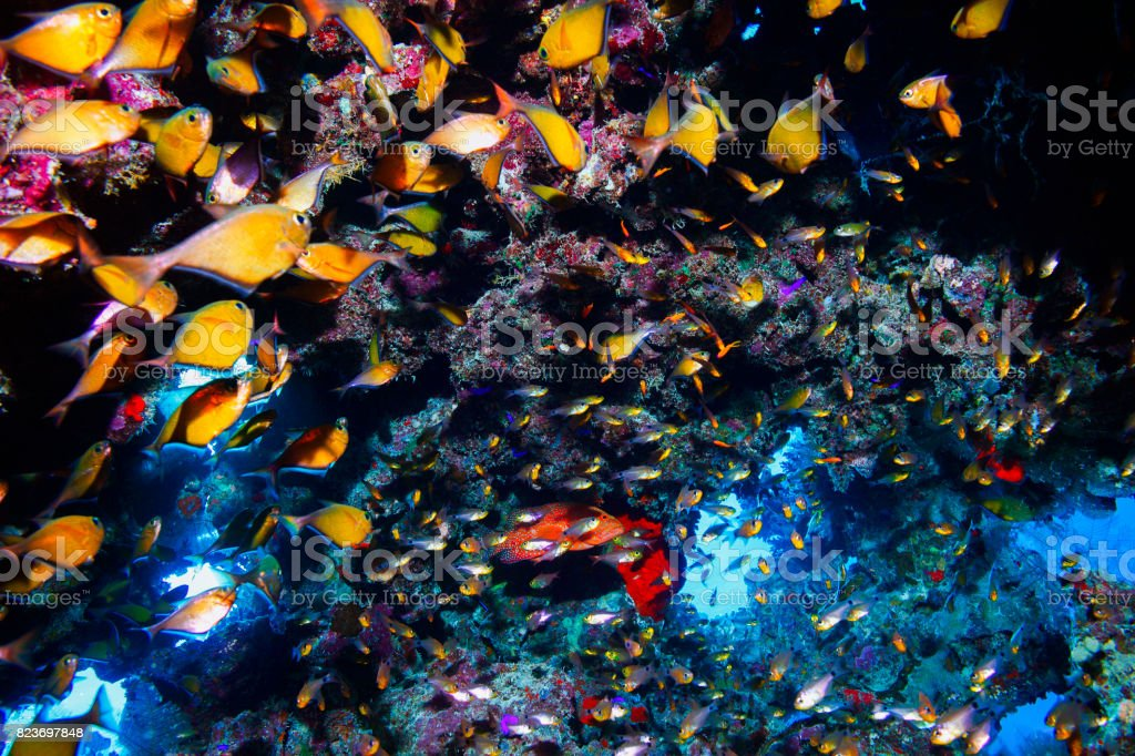 Underwater cave Coral reef  glassfish fish Sea life red corals   Underwater  Scuba diver point of view  Red sea Nature & Wildlife stock photo
