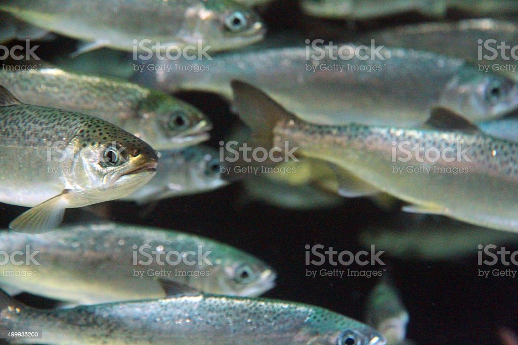 Underwater Char stock photo