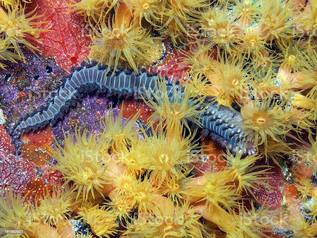 Underwater coral reef orange cup corals stock photo