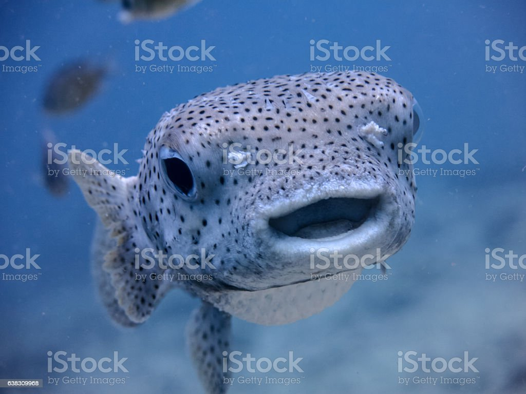 Underwater Cute Salt Water Porcupine Balloonfish Fish (Diodon hystox) Smiling stock photo