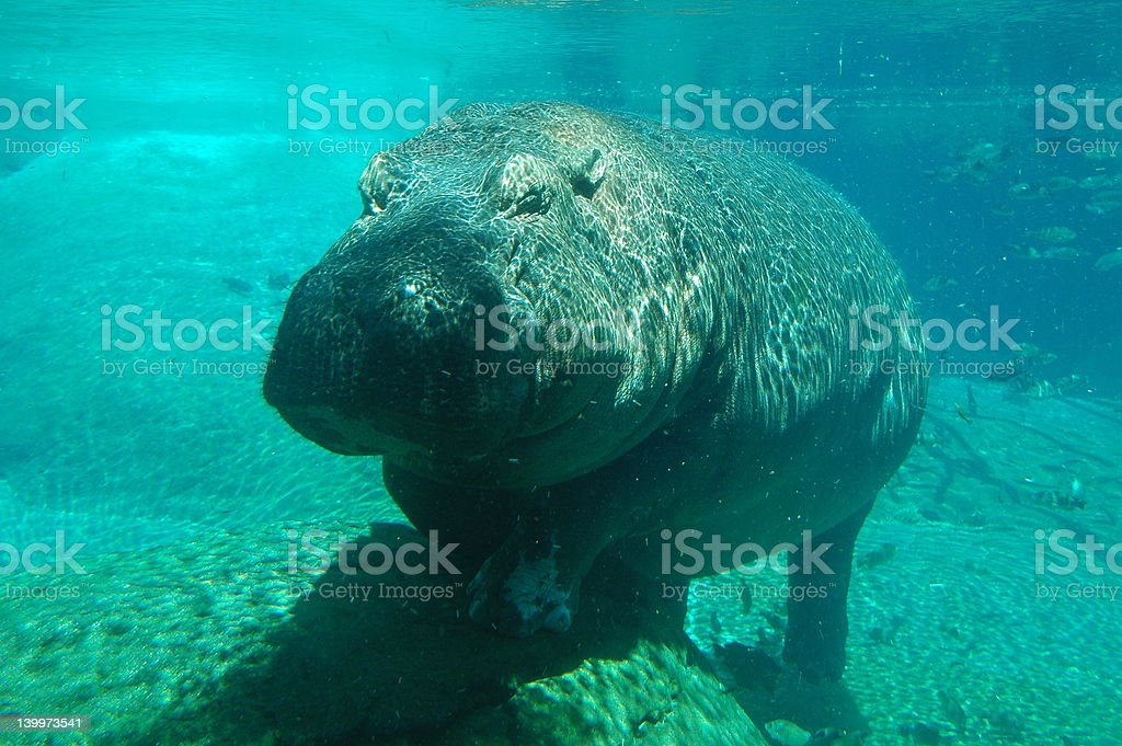Underwater Hippopotamus stock photo