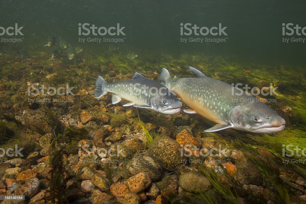 Underwater image of arctic char, Greenland royalty-free stock photo