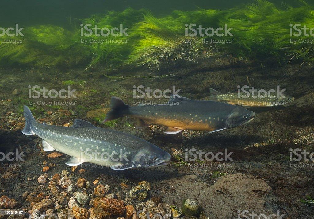 Underwater image of arctic char, Greenland stock photo