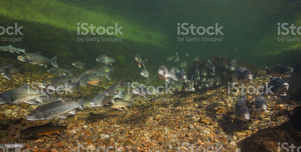 Underwater image of arctic chars, Greenland stock photo