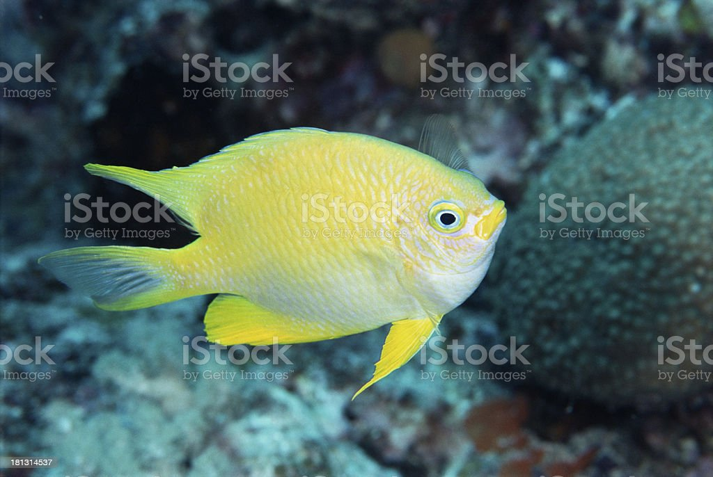 underwater image of tropical fishes royalty-free stock photo