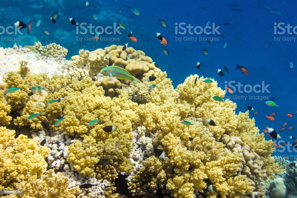 Underwater landscape with Klunzinger's wrasse (Thalassoma rueppellii) stock photo