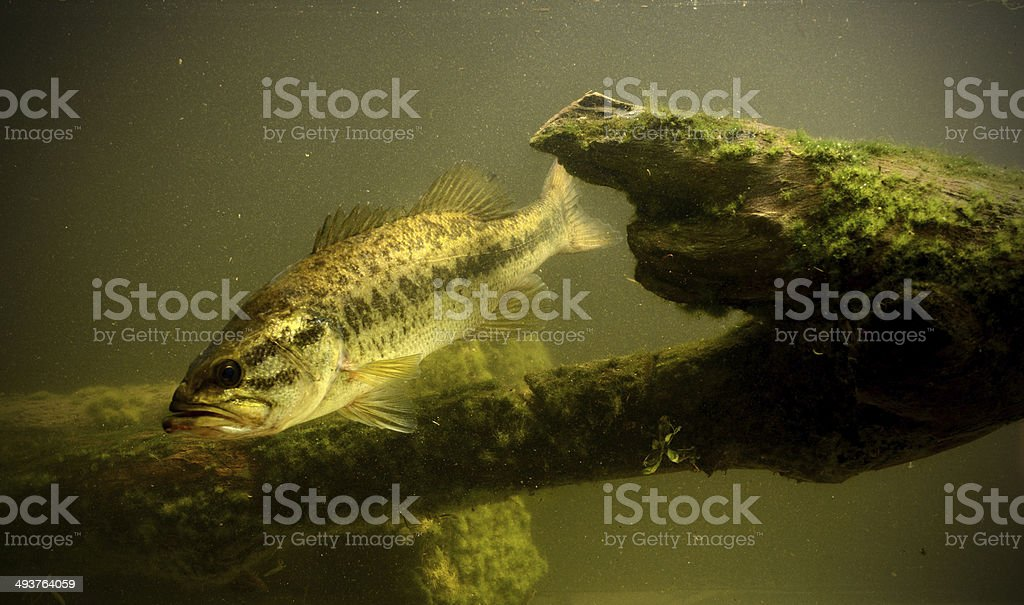 underwater largemouth bass fish stock photo