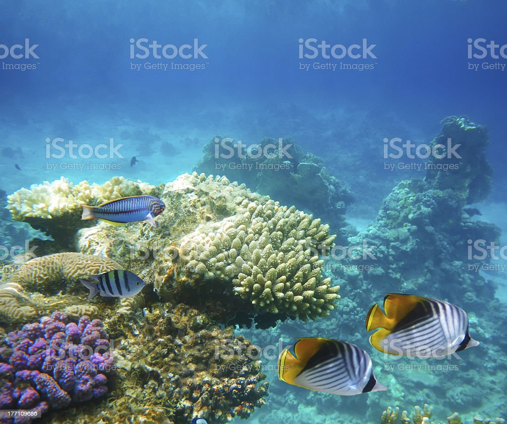 Underwater life of a hard-coral reef royalty-free stock photo