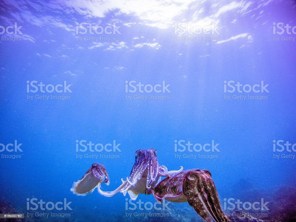 Three Wild Cuttlefish are in a mating ritual. A classic display of...