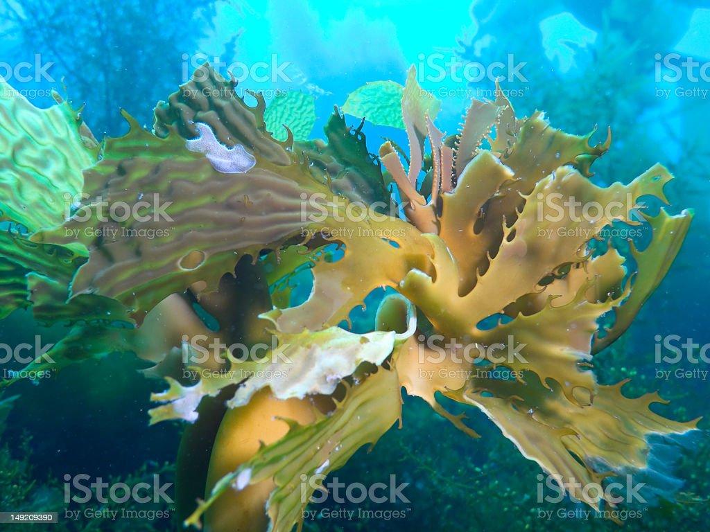 Underwater photo of bull kelp in a reef stock photo